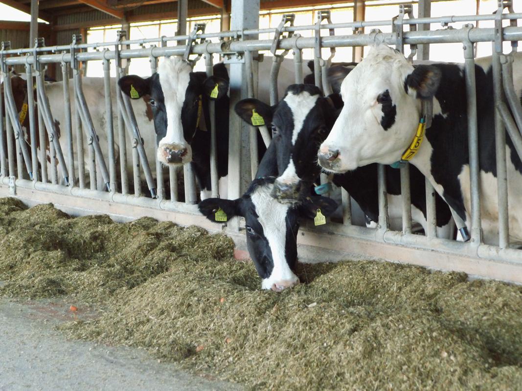 Rinderhaltung – Massentierhaltung aufgedeckt